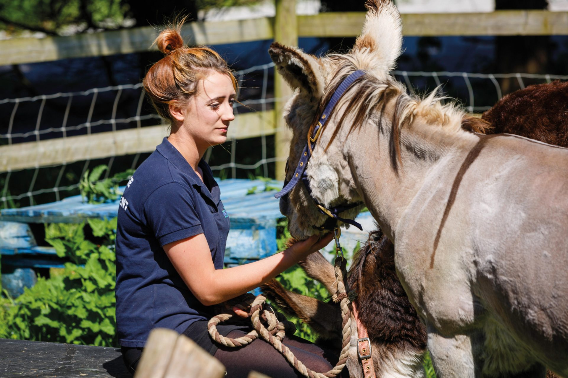 Equine student caring for a donkey
